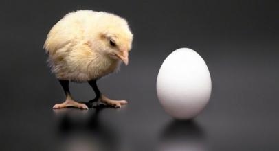 """Akhirnya Terjawab Sudah Teka-Teki """"Ayam atau Telur Yang Lebih Dulu"""""""
